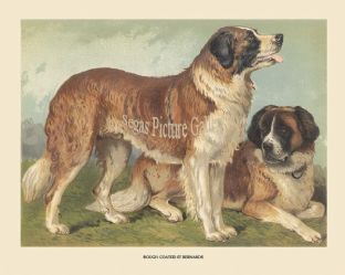 Rough Coated St Bernard